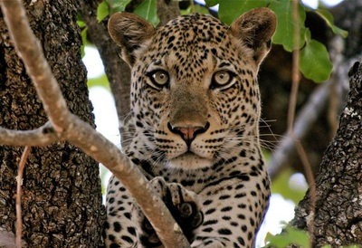 Leopard in a tree, South Luangwa National Park, Zambia