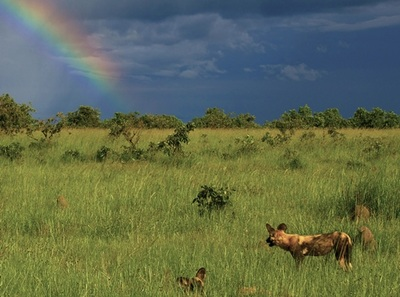 Wild dogs on the Busanga Plains, Kafue National Park, Zambia's largest reserve